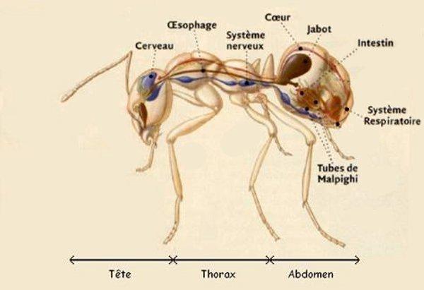 Antzzz Ant Anatomy