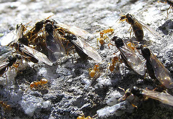 Winged ants ready to fly